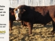 super-baldie-bull-for-sale-red-angus-simmental-fleckvieh-hybrid-2158_8750