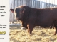super-baldie-bull-for-sale-red-angus-simmental-fleckvieh-hybrid-2160_8700