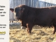 super-baldie-bull-for-sale-red-angus-simmental-fleckvieh-hybrid-2160_8701
