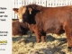 super-baldie-bull-for-sale-red-angus-simmental-fleckvieh-hybrid-2162_8727
