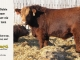 super-baldie-bull-for-sale-red-angus-simmental-fleckvieh-hybrid-2162_8729