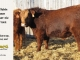 super-baldie-bull-for-sale-red-angus-simmental-fleckvieh-hybrid-2162_8736