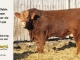 super-baldie-bull-for-sale-red-angus-simmental-fleckvieh-hybrid-2193_8761