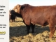 super-baldie-bull-for-sale-red-angus-simmental-fleckvieh-hybrid-2211_8716