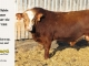 super-baldie-bull-for-sale-red-angus-simmental-fleckvieh-hybrid-2212_8698