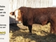 super-baldie-bull-for-sale-red-angus-simmental-fleckvieh-hybrid-2214_8795