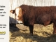 super-baldie-bull-for-sale-red-angus-simmental-fleckvieh-hybrid-2214_8796