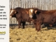 super-baldie-bull-for-sale-red-angus-simmental-fleckvieh-hybrid-2245_2313_8790