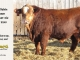 super-baldie-bull-for-sale-red-angus-simmental-fleckvieh-hybrid-2245_8797