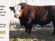 super-baldie-bull-for-sale-red-angus-simmental-fleckvieh-hybrid-2253_8780