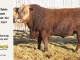 super-baldie-bull-for-sale-red-angus-simmental-fleckvieh-hybrid-2267_8763