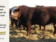 super-baldie-bull-for-sale-red-angus-simmental-fleckvieh-hybrid-2283_2313_8718