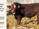 super-baldie-bull-for-sale-red-angus-simmental-fleckvieh-hybrid-2295_8711