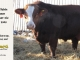 super-baldie-bull-for-sale-red-angus-simmental-fleckvieh-hybrid-2305_8765