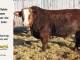 super-baldie-bull-for-sale-red-angus-simmental-fleckvieh-hybrid-2305_8777
