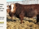 super-baldie-bull-for-sale-red-angus-simmental-fleckvieh-hybrid-2305_8778