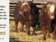 super-baldie-bull-for-sale-red-angus-simmental-fleckvieh-hybrid-2310_2266_8783