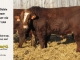 super-baldie-bull-for-sale-red-angus-simmental-fleckvieh-hybrid-2313_8723