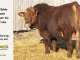 super-baldie-bull-for-sale-red-angus-simmental-fleckvieh-hybrid-2315_8749