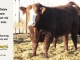 super-baldie-bull-for-sale-red-angus-simmental-fleckvieh-hybrid-2325_8699