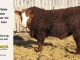 super-baldie-bull-for-sale-red-angus-simmental-fleckvieh-hybrid-2325_8703
