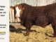 super-baldie-bull-for-sale-red-angus-simmental-fleckvieh-hybrid-2325_8704