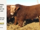 super-baldie-bull-for-sale-red-angus-simmental-fleckvieh-hybrid-2337_8755