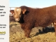 super-baldie-bull-for-sale-red-angus-simmental-fleckvieh-hybrid-2337_8757
