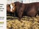 super-baldie-bull-for-sale-red-angus-simmental-fleckvieh-hybrid-2351_8707