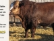super-baldie-bull-for-sale-red-angus-simmental-fleckvieh-hybrid-2351_8792