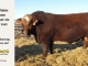 super-baldie-bull-for-sale-red-angus-simmental-fleckvieh-hybrid-2359_8741
