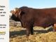 super-baldie-bull-for-sale-red-angus-simmental-fleckvieh-hybrid-2359_8742