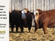 super-baldie-bull-for-sale-red-angus-simmental-fleckvieh-hybrid-2370_4001_8787