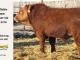 super-baldie-bull-for-sale-red-angus-simmental-fleckvieh-hybrid-2370_8739