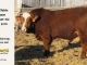 super-baldie-bull-for-sale-red-angus-simmental-fleckvieh-hybrid-2370_8745