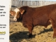 super-baldie-bull-for-sale-red-angus-simmental-fleckvieh-hybrid-2370_8746