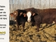 super-baldie-bull-for-sale-red-angus-simmental-fleckvieh-hybrid-2398_2295_8721