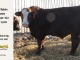 super-baldie-bull-for-sale-red-angus-simmental-fleckvieh-hybrid-2409_8771