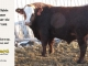 super-baldie-bull-for-sale-red-angus-simmental-fleckvieh-hybrid-2412_8769