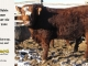 super-baldie-bull-for-sale-red-angus-simmental-fleckvieh-hybrid-2434_8774