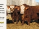 super-baldie-bull-for-sale-red-angus-simmental-fleckvieh-hybrid-2473_4001_8735