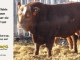 super-baldie-bull-for-sale-red-angus-simmental-fleckvieh-hybrid-2519_8737