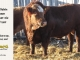 super-baldie-bull-for-sale-red-angus-simmental-fleckvieh-hybrid-2519_8738