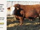 super-baldie-bull-for-sale-red-angus-simmental-fleckvieh-hybrid-4001_8730