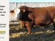 super-baldie-bull-for-sale-red-angus-simmental-fleckvieh-hybrid-4001_8731