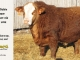super-baldie-bull-for-sale-red-angus-simmental-fleckvieh-hybrid-4001_8740