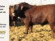 super-baldie-bull-for-sale-red-angus-simmental-fleckvieh-hybrid-----_8705