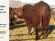 super-baldie-bull-for-sale-red-angus-simmental-fleckvieh-hybrid-----_8781