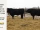 super-guppie-bull-for-sale-black-angus-gelbvieh-2287_5578_8369