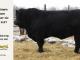 super-guppie-bull-for-sale-black-angus-gelbvieh-2287_8368